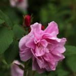 june rose 01