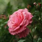 june rose 02