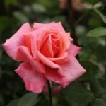 june rose 04
