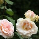 june rose 08