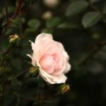june rose 09