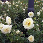 pm-rose garden 06