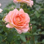 pm-rose garden 08